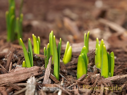 Finally. . . the Daffodils are Peeking