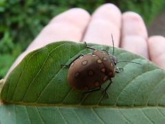 bug? (jarbas mattos) Tags: scutelleridae