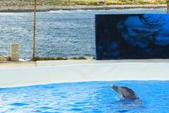 El Estrés en Delfines  - The Mediteranneo MArine Park (CaptiveDolphins-vs-WildDolphins) Tags: malta dolphins shame delphinarium malte mediteraneo maltagozo marinelands mediterraneomarinepark captivedolphins themediteranneomarineparkinmaltaisashame unehonte unaverguenza dauphinscaptifs themediteranneomarineparkinsliemathemediteranneomarineparkinmalta themediteranneomarinepark dauphinsdelfines delfinescautivos