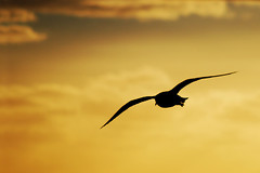Sunset flight... (Trig::Photographie) Tags: christmas sunset bird beach silhouette yellow seagull australia melbourne victoria merry brightonbeach nikond60 aplusphoto nikkor55200mmvr