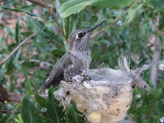 Hummingbird Baby in the Nest