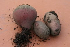 over wintered beet and potatoes