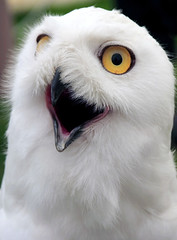 Shout (iOpeners UK) Tags: wild portrait white snow bird eye nature look animal fly bill wings eyes natural head snowy wildlife wing beak feathers feather camouflage owl wise surprise stare hunter prey sight predator hunt shout snowyowl plumage