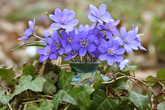Blue Snowdrops And Ivy (panga_ua) Tags: flowers blue stilllife macro green art primavera leaves composition forest canon outdoors spring dof artistic availablelight ivy ukraine evergreen vase dslr hedera arrangement ranunculaceae gettyimages bodegon naturemorte earlyspring artisticphotography naturamorta hepaticaamericana hepatica liverwort hepaticanobilis blueflowers cloudyday liverleaf artphotography leberblmchen hepaticatriloba americanliverleaf anemonehepatical nobleliverwort kidneyliverleaf heartliverleaf bluesnowdrops nataliepanga