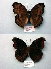 Junonia iphita