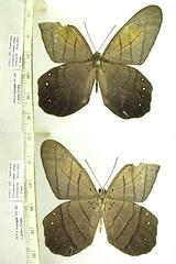 Pierella lamia