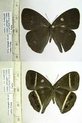 Erichthodes julia