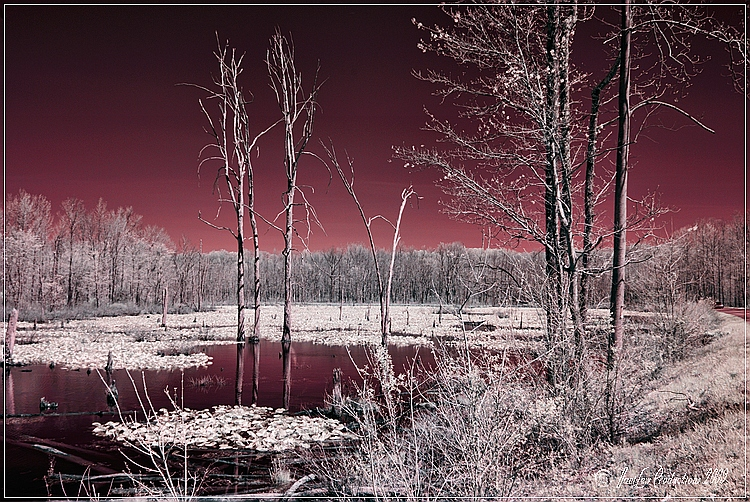 Stafford County, Virginia magenta marsh - infrared taken with a Nikon D200 IR-converted camera and Nikon 18-200 VR lens