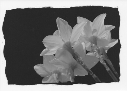 Narcissus 水仙