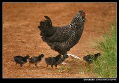 Chickens (Kurokami) Tags: africa baby bird chicken birds animal rural farm african chick huila angola kalukembe