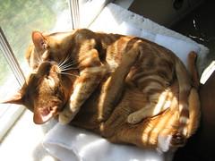 IMG_1595 (Cheetomonkey) Tags: cats kitties cheeto aristotle nibbler quagmire abbysinians abbysiniancats