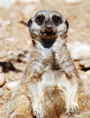 Guilty Meerkat