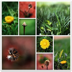 out with the old, in with the new (beesquare) Tags: new green grass collage garden spring backyard collages lawn fresh dandelions nikkor50mm18