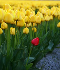 one red, lots of yellow, Skagit Valley Tulip Festival (i8seattle) Tags: flowers mtvernon laconner tulipfields redandyellowtulips northwestimages tulipsskagitvalleytulipfestivalskagitcounty imagesofwashington photosbyandyporter