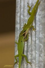 ANOLEFIGHT9 (garanger1403) Tags: green nature georgia fight rumble display wildlife lizard breeding mating anole frontporch lizards wrestle greenanole reptiles herps warpaint territory okefenokeeswamp altercation laurawalkerstatepark