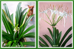Hymenocallis caribaea (Caribbean Spiderlily, Spider Lily, White Lily), a 2-series mosaic presenting buds and flowers