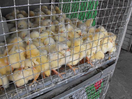 Pollos, gallos y gallinas
