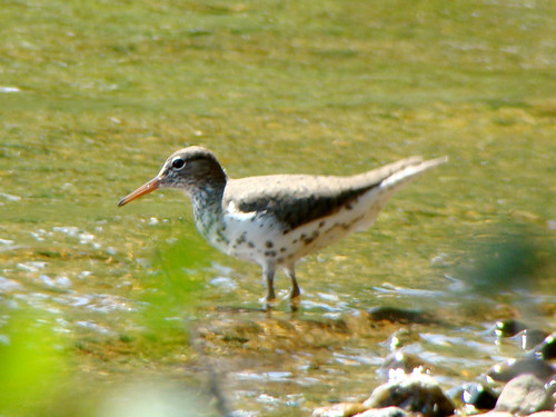 foss spotted sandpiper