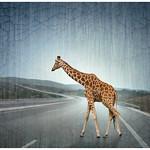 Lost Giraffe on the Highway