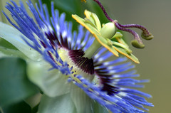 If Dr Seuss created a flower it would look like this (BeautyInDetails) Tags: flower nikon nikond70 blossom vine bloom passionflower blueflower macroflower closeupflower navarrefl navarrebutterflyhosue