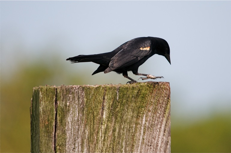 blackbird_0008
