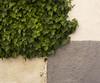 Hiedra en muro (Pepe Colsa) Tags: muro hoja hojas muros hiedra hiedras tapizar tapizantes tapizante cobertora cobertoras
