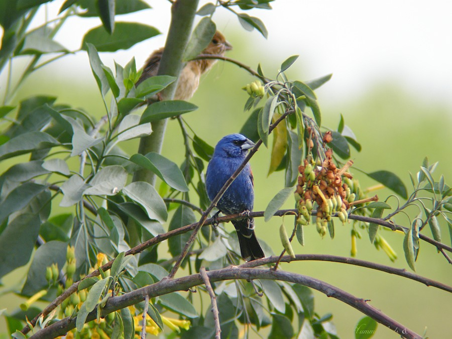 Blue Grosbeak05091