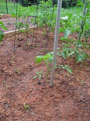runt tomato plant