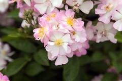 Paolyantha rose (NYBG) Tags: new york nyc travel flower nature beauty rose garden botanical natural blossom bronx michelle rosa palmer marjory bloom destination nybg longo michellelongo paolyantha