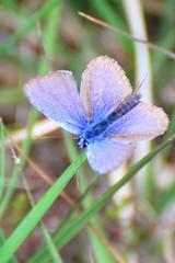 Blue Butterfly?
