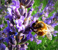 Bee on Lavender (Sandra Leidholdt) Tags: france flower nature insect french frankreich europe purple blossoms lavender frana bee explore flowering blossoming frankrijk provence shrub avignon francia herb perennial lavandula explored sandraleidholdt leidholdt sandyleidholdt
