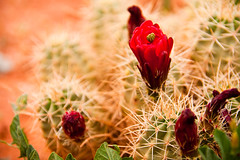 Kings Cup Cactus [0941] (K. B. Photography) Tags: red cactus plant flower beauty landscape utah soft desert blossom sharp thorns spines blooming kingscup