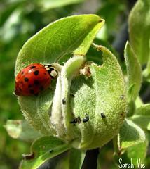 coccinelle (Sarah-Vie) Tags: macro ladybug coccinelle