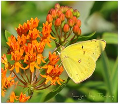 Yellow Butterfly for Mike (Tracey Tilson Photography) Tags: wild summer orange flower macro green mike floral yellow butterfly insect spring nikon bokeh micro bloom butterflyweed d90 kapnkaos