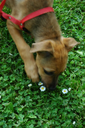 Rose, a puppy, sniffing the miniature daisies, at a pitstop, Oregon, USA by Wonderlane