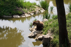 (ge-org) Tags: bear park nature animal animals tiere wildlife natur grizzly br deerpark braunbr brownbear wildpark poing wildlifepark wildparkpoing