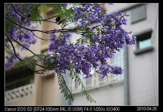 20100425Flowers藍花楹