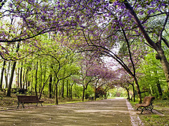 Tree-lined road in a public garden (Patrick Bombaert) Tags: park wood white plant flower tree green nature floral beautiful beauty grass rural garden bench way easter season cherry landscape botanical outside petals spring flora scenery branch view natural blossom outdoor empty seat seasonal lawn peaceful sunny nobody scene fresh foliage bloom april environment leafs tranquil springtime blooming