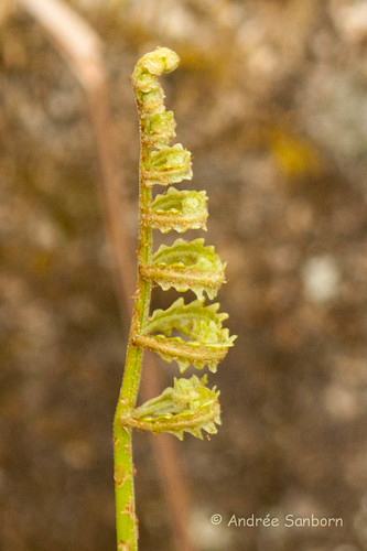 Sensitive fern-4.jpg