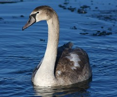 Young Mute Swan (Cygnus olor)