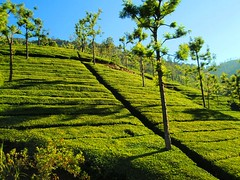 Tea Estate in Ooty