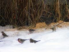 Redpoll Mania (HBPhotography2010) Tags: red snow birds feeders animalplanet redpoll naturesbeauty