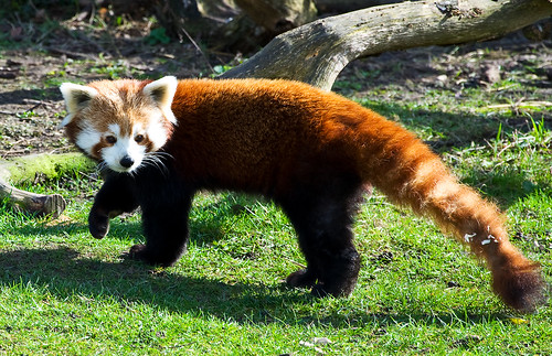 Toy animal (Red Panda) by Greg Foord.