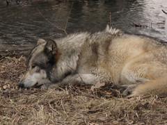 Renki Opens his Eyes (kisazeki) Tags: park wolf renki