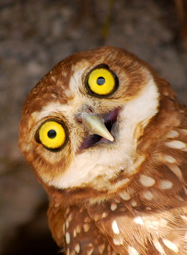 Yellowish owl eyes