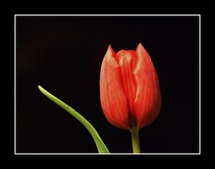 Lady in red... (Anniko 1996) Tags: red rot tulip 1001nights tulpe schnaich redtulip rotetulpe anniko abigfave colorphotoaward mrz2009
