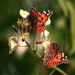 (GnL*) Tags: nature animals butterfly hayvanlaralemi soe doga kelebek canon400d vosplusbellesphotos