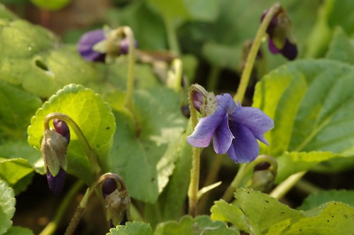 Viola odorata - Maarts viooltje, Sweet violet