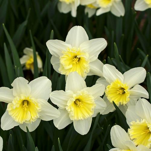 Missouri Botanical Garden (Shaw's Garden), in Saint Louis, Missouri, USA - Split-corona daffodil, Narcissus 'Cassata' Amaryllidaceae