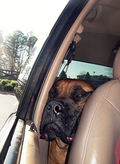 lol (tekkchick) Tags: window face car seat squishy bullmastiff jowls